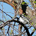 Small photo of Acacia Pied Barbet (Tricholaema leucomelas)