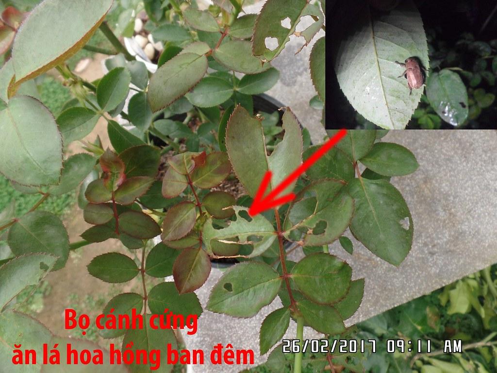 Các lá hồng bị cắn phá từng mảng lớn là do bọ cánh cứng thường ăn lá vào ban đêm