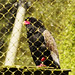 Small photo of Bateleur