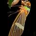 Colourful cicada by pbertner