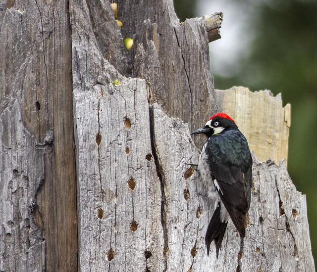 Acorn Woodpecker 7d1_2510