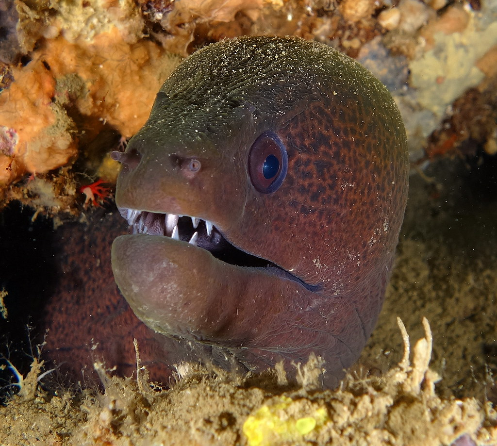 Moray Eel - Tawali - Milne Bay PNG - 28th September 2015