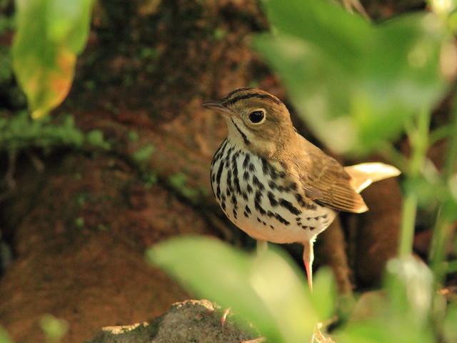 Ovenbird 2-20151015