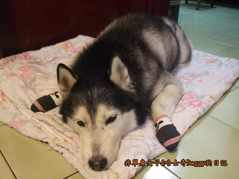 Doggy穿兒童襪08