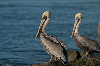 pelicans | by USFWS Pacific