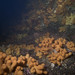 Small photo of Wall of Dead Man's Fingers (Alcyonium digitatum)
