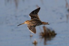 Wilson's Snipe by shimmer5641