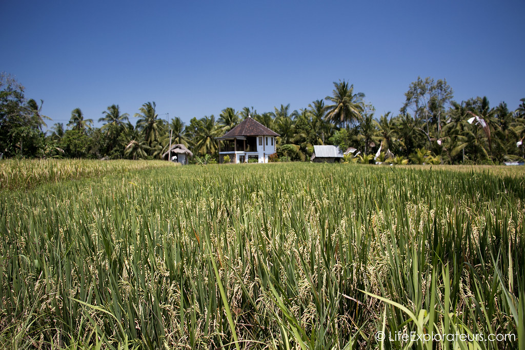 Ubud-yoga-house-rice-paddies