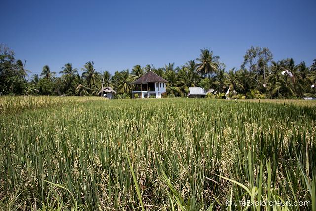 Ubud-yoga-house-rice-paddies