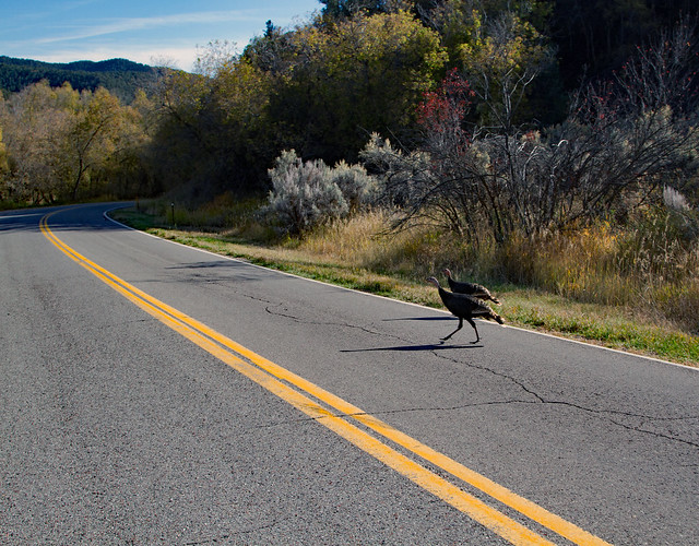 Why did the Turkey cross the road