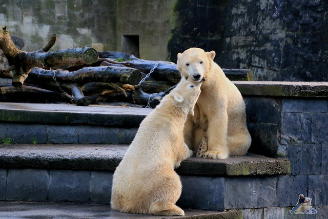 Eisbär Fiete im Zoo Rostock 12.12.2015   9