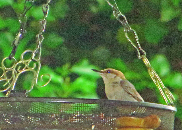 Brown-headed Nuthatch, Canon POWERSHOT SX260 HS