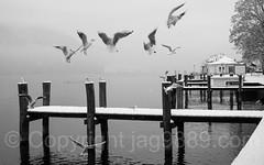 Seagulls on Lake Lucerne, Weggis, Switzerland