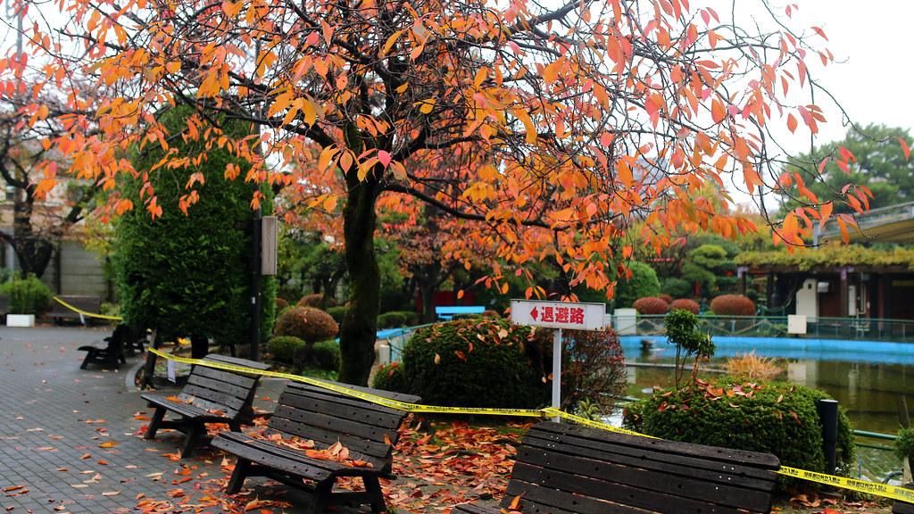 東京蚤の市 京王閣競輪場 Tokyo, Japan / Sigma 35mm / Canon 6D 但也有楓葉樹,少少幾株隨意種在一些不起眼的地方。  紅紅的襯托一下周圍金黃色的銀杏。  東京蚤の市:2016年,京王閣競輪場(オフト京王閣)  Canon 6D Sigma 35mm F1.4 DG HSM Art IMG_8787 Photo by Toomore