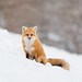 Renard roux - Red fox by Amélie Gagnon