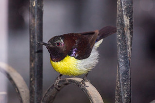 Purple-rumped Sunbird | by Ravindra R