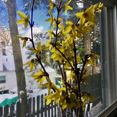 Forcing a snowy March day towards spring.  Hello forsythia!