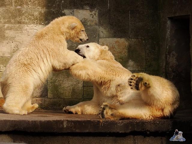 Eisbär Fiete im Zoo Rostock 15.08.2015 Teil 3 030