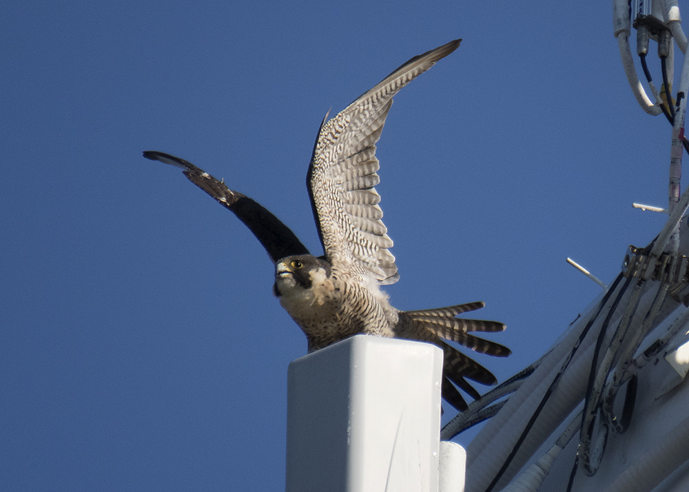 Bay Head Peregrine