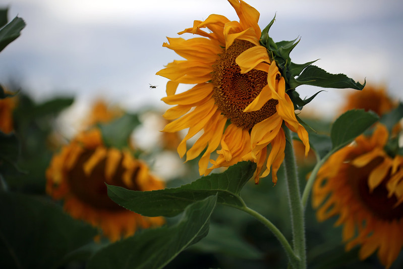 2015 8 16 - Sunflower Fields - 9S3A6563
