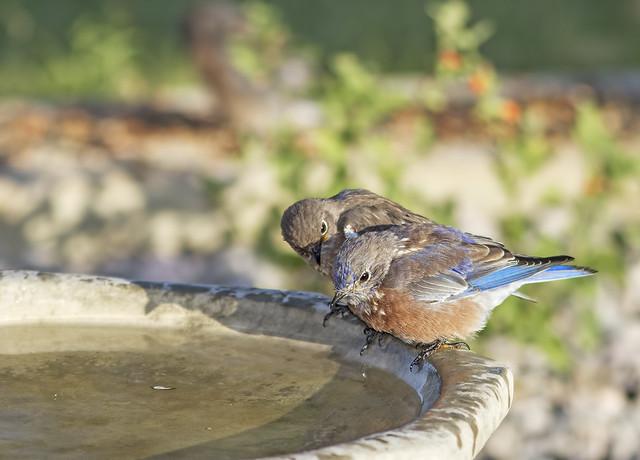 Western Blue Birds 7d1_2417