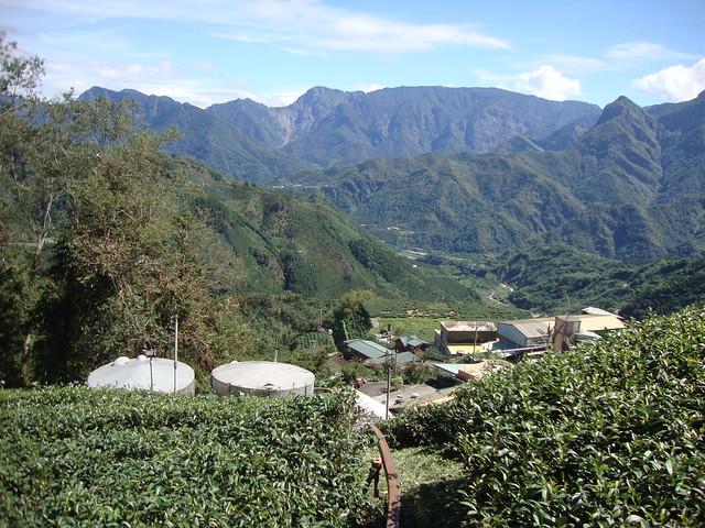 20150902阿源茗茶-茶園一景