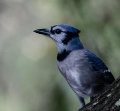 crow-like bird(0.0), animal(1.0), branch(1.0), wing(1.0), nature(1.0), fauna(1.0), close-up(1.0), blue(1.0), blue jay(1.0), beak(1.0), bird(1.0), wildlife(1.0),