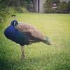 Peacock, 10/4/15