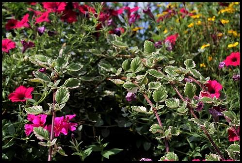 Plectranthus glabratus (= Plectranthus coleoides) 21925725863_ac3497314d