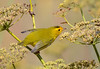 For the love of the sweet fennel (14) - Wilson's Warbler by Jerry Ting