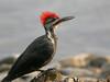 Pileated Woodpecker 51 by egdc211