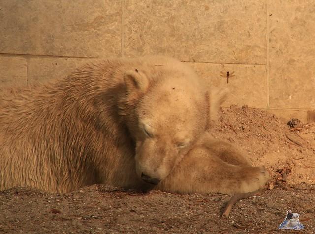Eisbär Fiete im Zoo Rostock 31.10.2015 Teil 1  0200