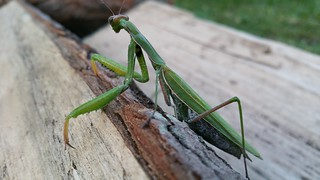 Praying mantis - 02