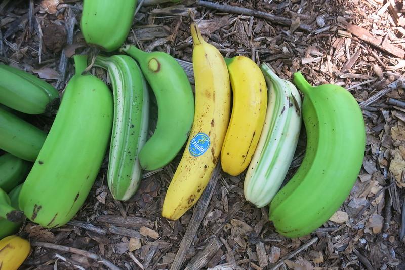 2015 11 07 Banana Harvest (12)