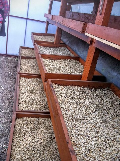Le séchage du café sur des plateaux