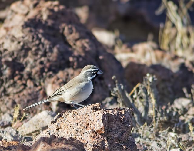 Black-throated Sparrow 29 7D2 081115