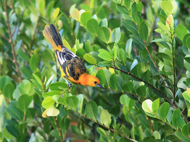 Spot-breasted Oriole 05-20151202