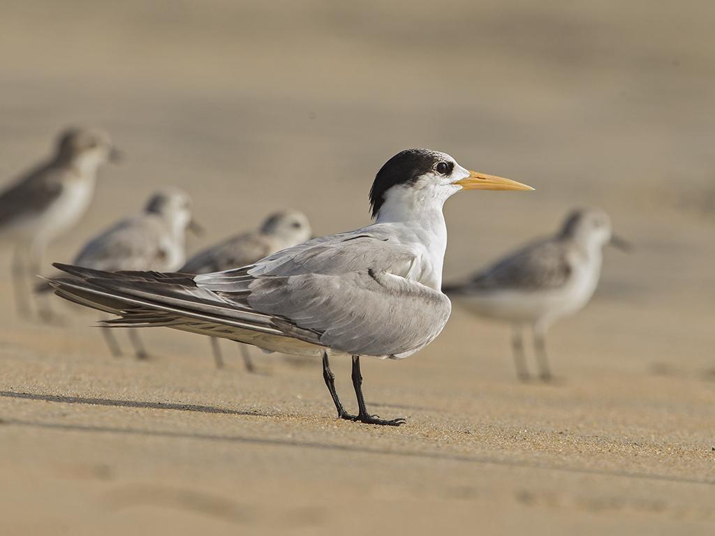 Lesser Crested Tern   Sri Lanka