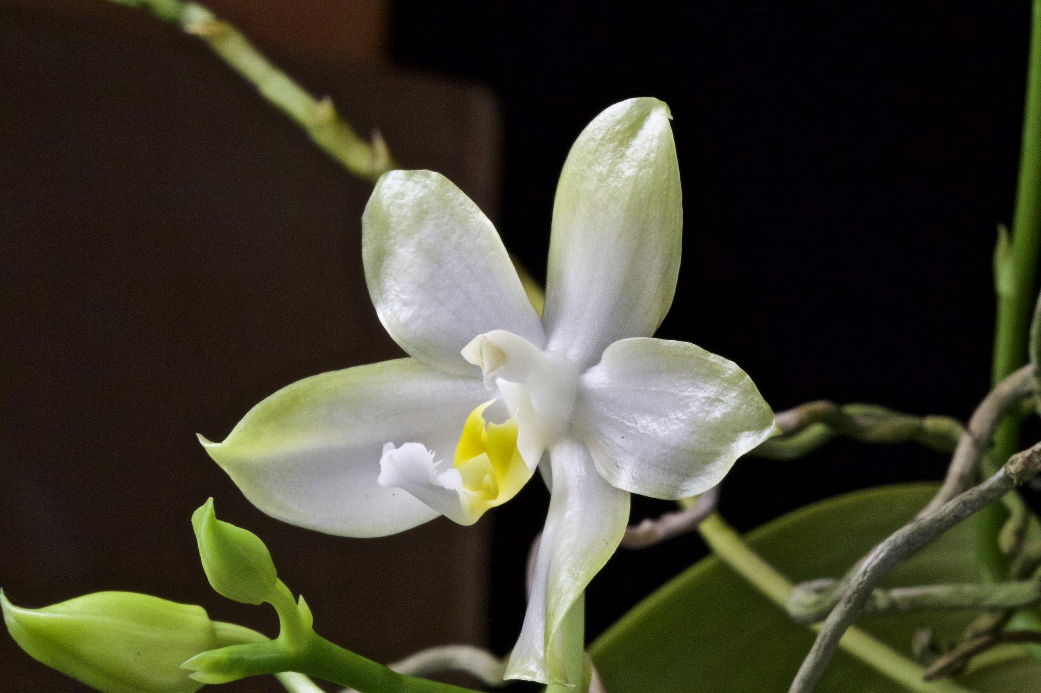 Phalaenopsis Cherry Spot f. alba 20433337299_f4da5f3847_k