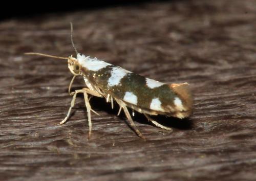 Argyresthia brockeella 2263
