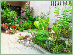 Front yard garden incl. Alocasia macrorrhizos (Variegated Giant Alocasia/Taro, Variegated Upright Elephant Ears) in the outer bed, Sept 12 2015