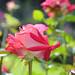 DSC_0730 by RosePetalPhotography-Thanks for over 448,298 visit
