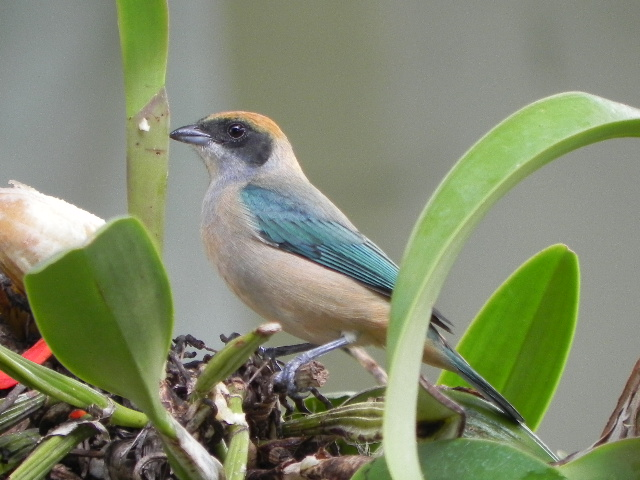 Tangara cayana. Tangara Monjita. Burnished-Buff Tanager