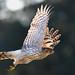 Cooper's Hawk by hearman