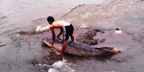 Foto-foto Ikan Raksasa yang Mati Terdampar di Kali Ciliwung