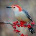 Red-bellied Woodpecker by Islander_16