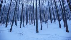 Zimowy las bukowy w Biszczadach