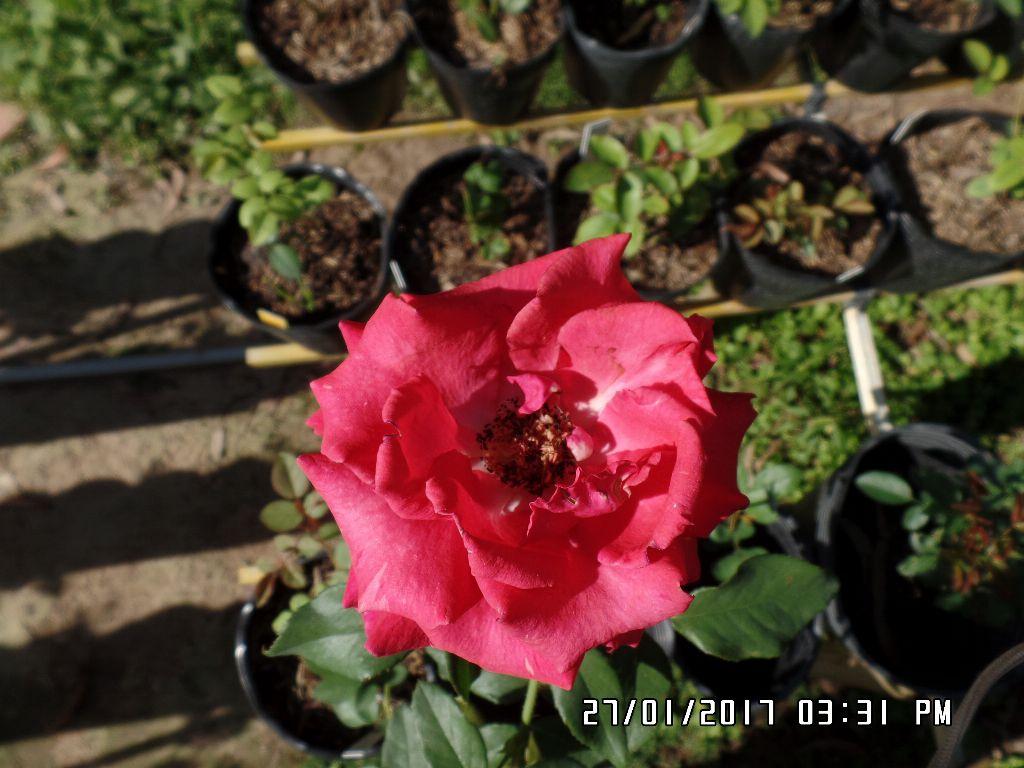 cham soc hoa hong da lat (5)