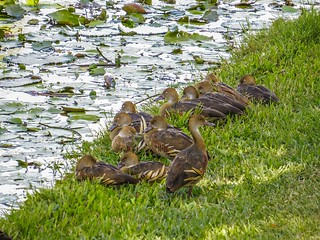 Plumed Whistling Ducks...napping time...