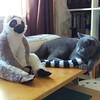 Who is THIS imposter? #britishblue #britishshorthair #catstagram #catsofinstagram #teddymcdoig